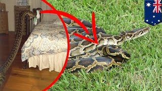 Giant python caught in house: Woman wakes to 16-foot snake in her bedroom in Australia - TomoNews