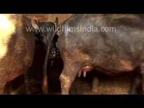 Indian Bull Sh t