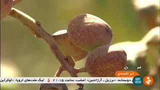 Iran Pistachio harvest report, Qom province برداشت پسته استان قم ايران