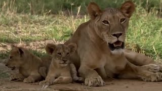 Lions: From Cute Cubs to Apex Predators | BBC Earth