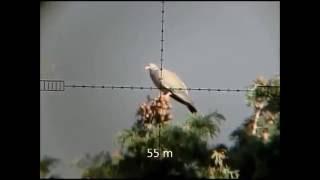 Caçada impressionante de arribanção, pomba de bando, avoante   Parte 2