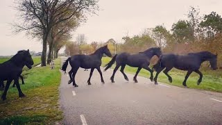 You will never believe how we bring in these amazing Friesian horses.