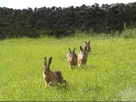 4 Yorkshire Hares - midsummer madness