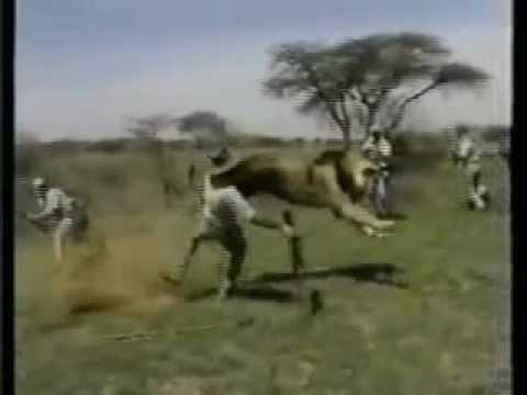 HOMEM E ANIMAL FELINOS ataques a homens