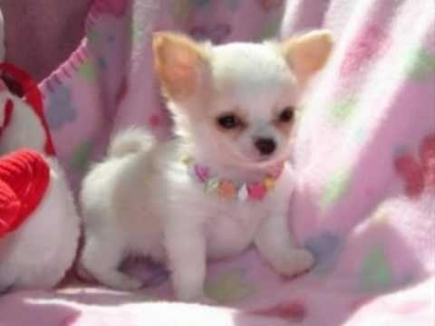 O minúsculo e maravilhoso Chihuahua. El pequenito perro Chihuahueño.