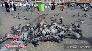যেখানে কবুতর শিকার নিষিদ্ধ ।  Where Pigeon Hunting Is Prohibited