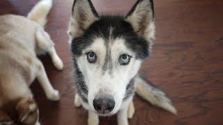 Happy 11th Birthday Mishka the Talking Husky!