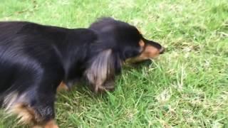 【Dog】きゅうりを食べるミニチュアダックスフンドのジョン   John miniature dachshund eating cucumber