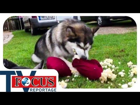 Problemhusky Ein Fall für den Hundetrainer Focus TV Reportage