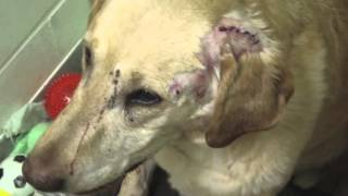 Dog Shot Six Times, Authorities Looking For Who's Responsible [VIDEO]