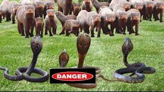 Snake vs Mongoose   Snake vs Mongoose Real Fight HD