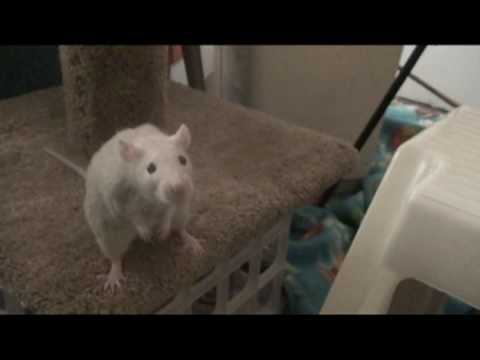 Pet rat Lila (