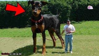 أضخم  10 حيوانات تعيش بيننا - لا يمكن أن تصدق أنها موجودة بالفعل !!