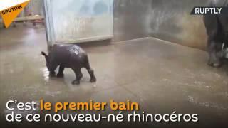 Le premier bain d'un bébé rhinocéros