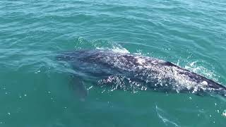 CONANP registra más de 1000 ejemplares de ballena gris en el Vizcaíno