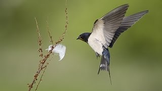 BTO Bird ID - Hirundines And Swift