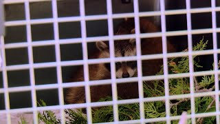 These Cute Baby Raccoons Are Headed For Safety After Their Mother Was Struck By A Car