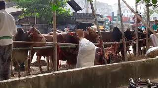2017 kurbani cow