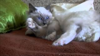 Ragdoll kitten - Cat - Katze - Cica - Macska - Gato - Gatto - Kitty - Minou - Kотенок