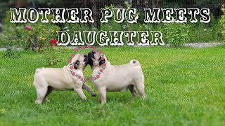 MOPSY DWA:SPOTKANIE MAMY z CÓRKĄ (2 PUGS MUM and DAUGHTER MEET FOR 1st TIME)