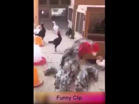 Xxx Mp4 Funny Hen Kung Fu Kick 3gp Sex