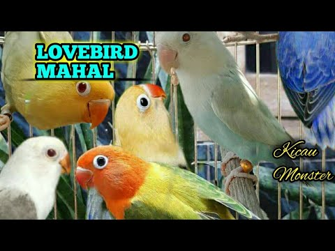 13 LOVEBIRD TERMAHAL 2018