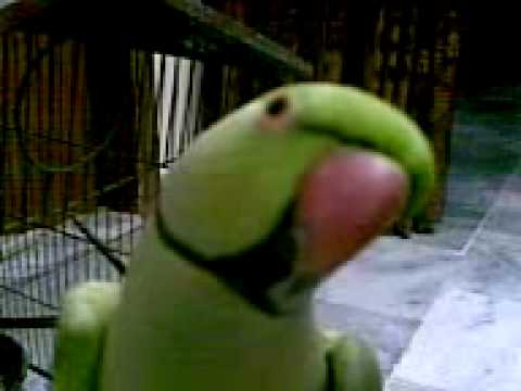 Pakistani talking parrot 2