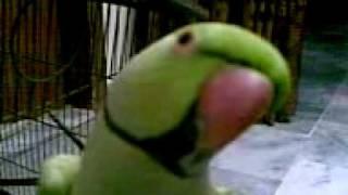 Pakistani talking parrot 2.. =)