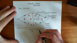 Smooth Muscle Contraction Part 1