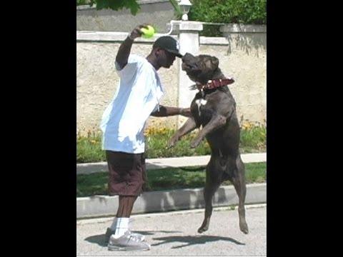 Largest Bully XXL Huge blue Pitbull BGK s The Rock playing ball giant pitbull