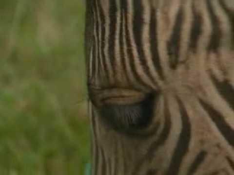 Half zebra, half horse - it's a zorse