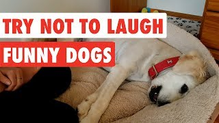 Try Not To Laugh   Funny Dog Video Compilation 2017
