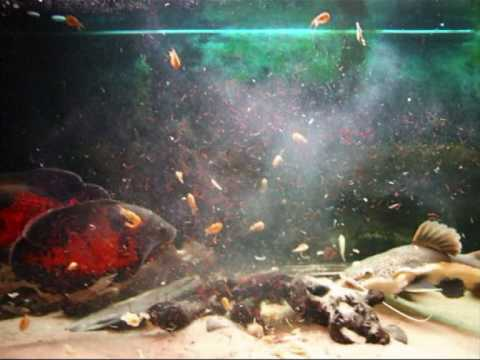 Feeding time for my Monster Fish s