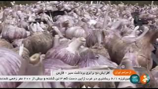 Iran Mechanized Garlic harvest, Marvdasht county برداشت مكانيزه سير شهرستان مرودشت ايران
