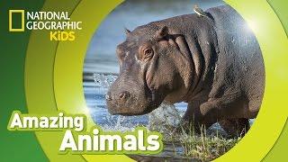 Hippo | AMAZING ANIMALS