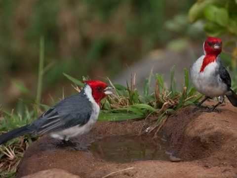 Aves do Brasil Ouça o maravilhoso canto do Cardeal