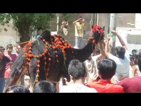 Camel ki qurbani