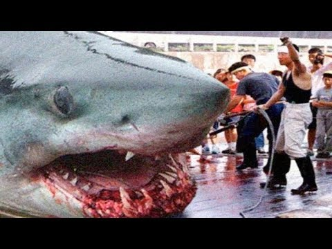 THE BIGGEST GREAT WHITE SHARKS Ever