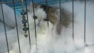 CFA Cat Show 2016 - Glendale, California