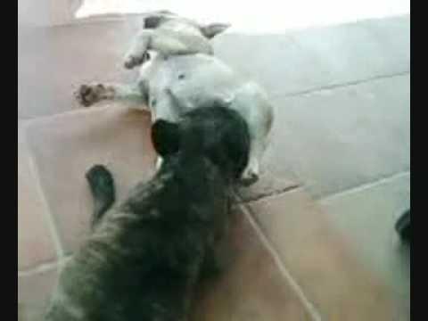 Xxx Mp4 French N Lesbian Bulldogs 3gp Sex