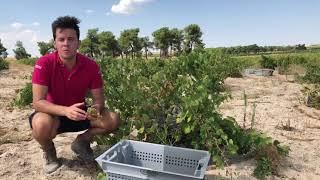 Inicio de la vendimia 2018 en Ossian Vides y Vinos