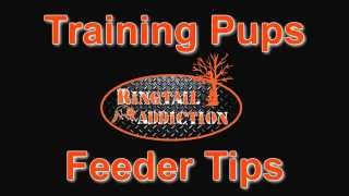 Coon Hunting - Ringtail Addiction's Training Pups & Feeder Tips