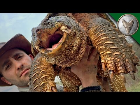 World s Most Famous Snapping Turtle Dragon Tails Episode 1