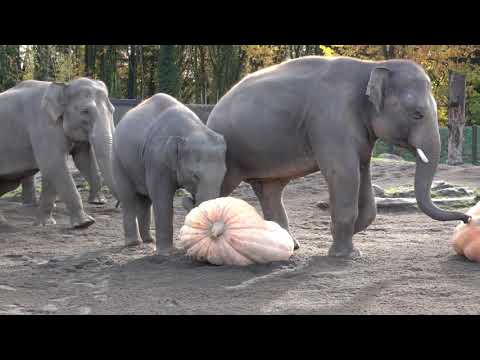 Xxx Mp4 Elephants Demolishing Pumpkins 3gp Sex
