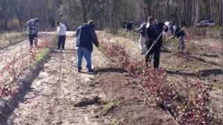 Caring for Your Blueberry Plants - Blueberry Farmer Advice