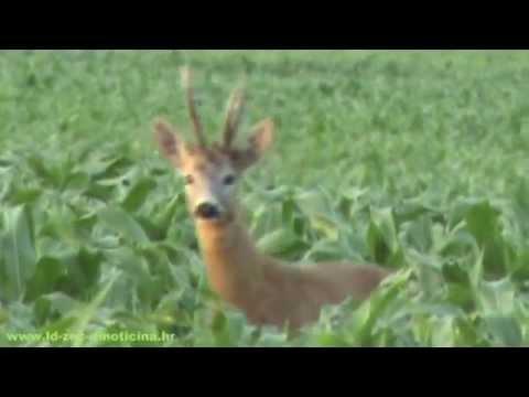 lov na srnjaka 2012.g.