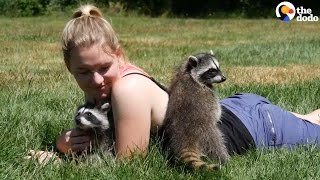 Orphaned Raccoons Love Chasing Their Rescuer
