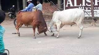 Bull fight in rod