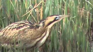 Bittern booming at  RSPB Minsmere