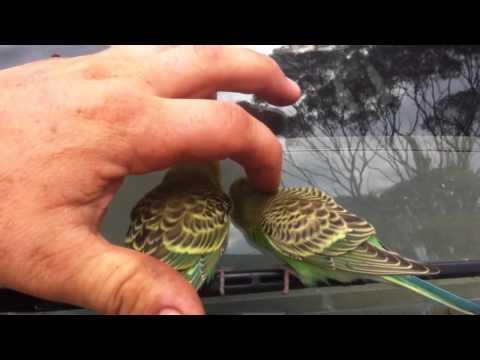 Yabani muhabbet kuşları